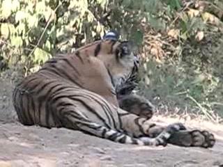 Sawai Madhopur, India: Tiger in Ranthambhor National Park