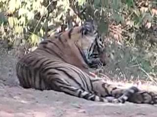 Sawai Madhopur, India: Tiger in the road of Ranthambhore National Park Nov 2007