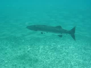 Occidental Grand Cozumel: Swimming with a Baracuda
