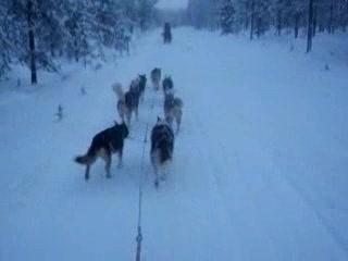 Saariselka, Finland: Huskie sledging