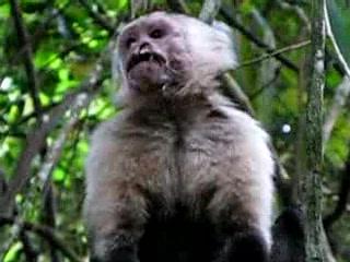 Hotel Las Caletas Lodge : Monkeys
