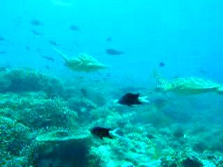 Pulau Sipadan, Malesia: Reef shark