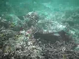 North Malé Atoll: Turtle eating off Sundowners beach - Bandos