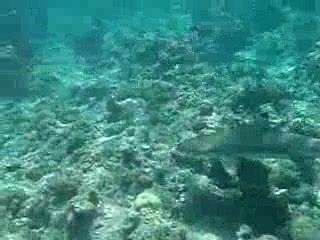 Reef Shark - Kuramathi house reef