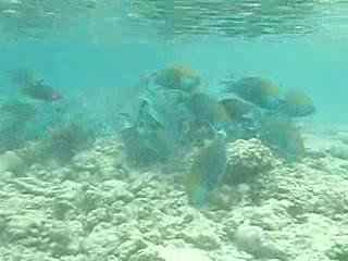 Parrot Fish feeding - Kuramathi House Reef