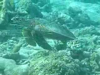 Filitheyo Island: Turtle