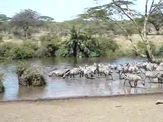 Serengeti National Park, Τανζανία: Zebra at the waterhole