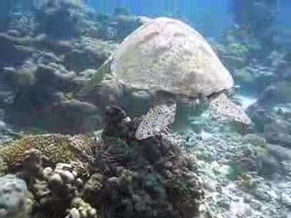 Diving with Giant Turtle