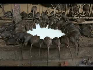 Bikaner, Inde : Rat footage as promised