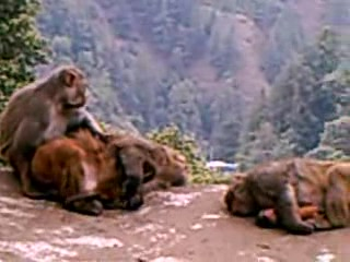 Shimla, Indien: monkeys in India