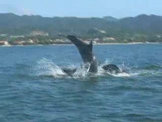 Wildlife Connection: Dolphins in the wild Vallarta