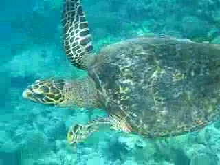 Snorkeling with Hawksbill