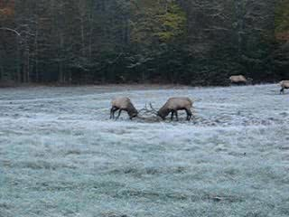 Elk fighting in Cataloochee, Maggie Valley, NC