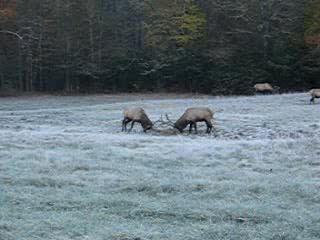 Maggie Valley, North Carolina: Elk fighting in Cataloochee, Maggie Valley, NC