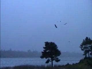 Lake Hotel: White Tailed Eagles in Killarney