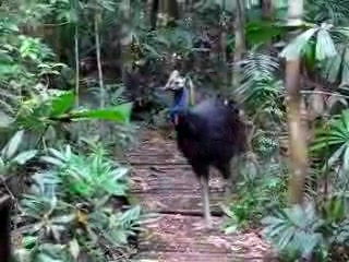 Daintree Wilderness Lodge: Fred the resident Cassowary