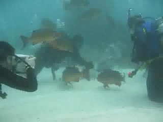 Great Barrier Reef, Australien: Cod Feed Video