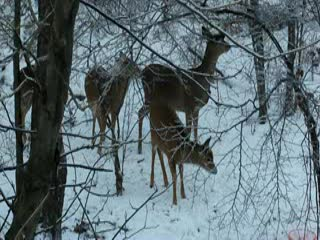 At Home In The Woods Bed And Breakfast: Deer in our woods