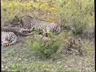 Samburu National Reserve, Kenya: Cheetah Family in Samburu National Park