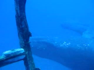 Гонолулу, Гавайи: Amazing Humpback Whale Encounter With Atlantis Submarines
