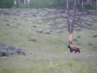 Grand Teton National Park, ไวโอมิง: Grizzly Bear Moving Along