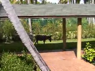 Sirenis Punta Cana Resort Casino & Aquagames: The resident Donkey
