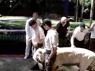 Coomera, ออสเตรเลีย: Dreamworld Tiger Show - See how I pet the tigers