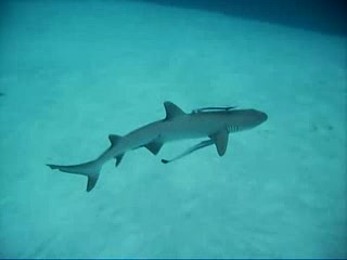 White tip reef shark - Angaga