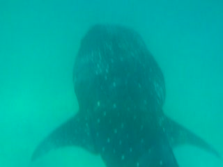 Veligandu Island Resort & Spa: Whale Shark