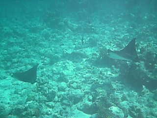 Majestic and graceful Eagle Rays