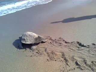 Hotel Le Virage: tortue