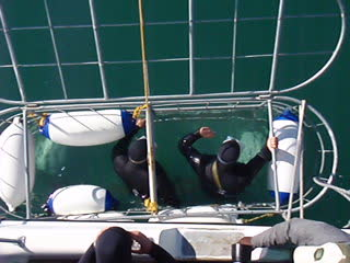 White Shark Diving in Gansbaai