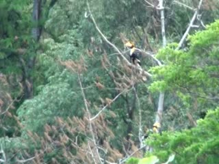 Kep, Camboya: Great Hornbills