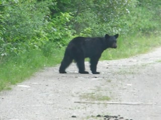 Grizzly Bear Ranch: A young black bear
