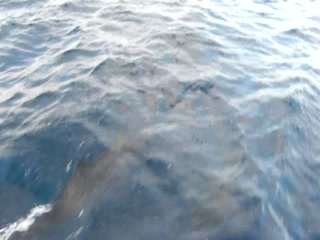 Dolphins from Biyadhoo speedboat.