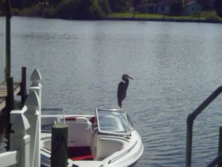 Crane Creek Inn Waterfront Bed and Breakfast: Great Blue Heron Takes Flight!