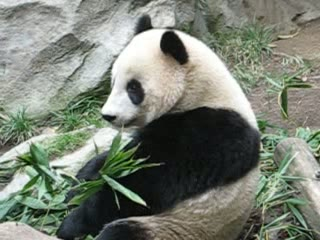 Panda at San Diego Zoo
