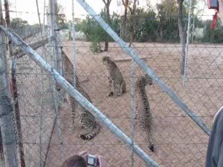 Gobabis, นามิเบีย: Cheetahs waiting for feeding