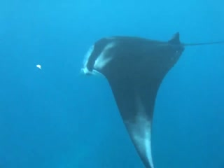 Nusa Lembongan, Indonesia: VIDEO: Manta Rays (click pic to start)