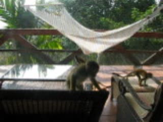 Tulemar Bungalows & Villas: Monkeys at Mot Mot