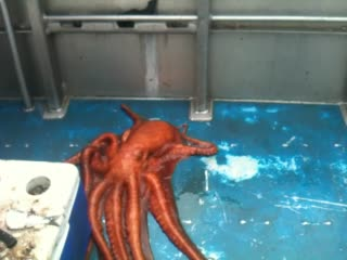 Octopus caught on Miller's Landing charter boat