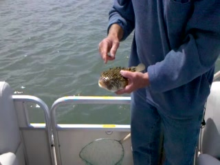 Daisey's Island Cruises: Rescuing a Puffer Fish from a Seagull