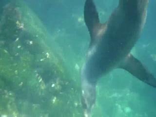 Isla Fernandina - Playful Sea Lion