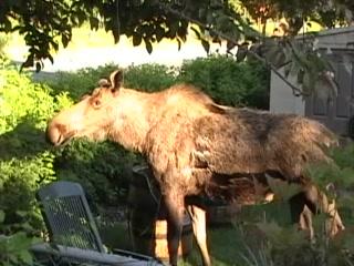 Walkabout Town B&B: A Moose pays a visit next door
