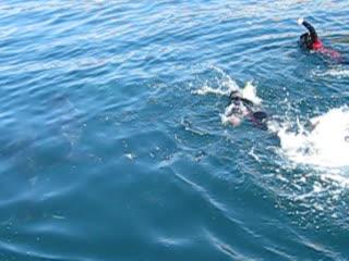E-Ko Tours: Dolphin swimming marlborough sounds