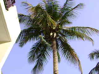 Pruning the trees at The Kombo Beach Hotel