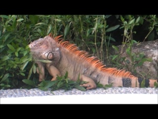 Occidental Grand Cozumel: Iguana in Cozumel