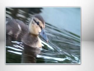 Hotel Grand Pacific: Joe and the Ducks