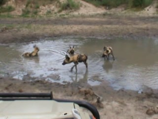Shindzela Tented Safari Camp: WIld dogs playing