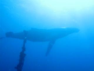 Alex's Aquatic Adventures: scuba diving with humpback whales